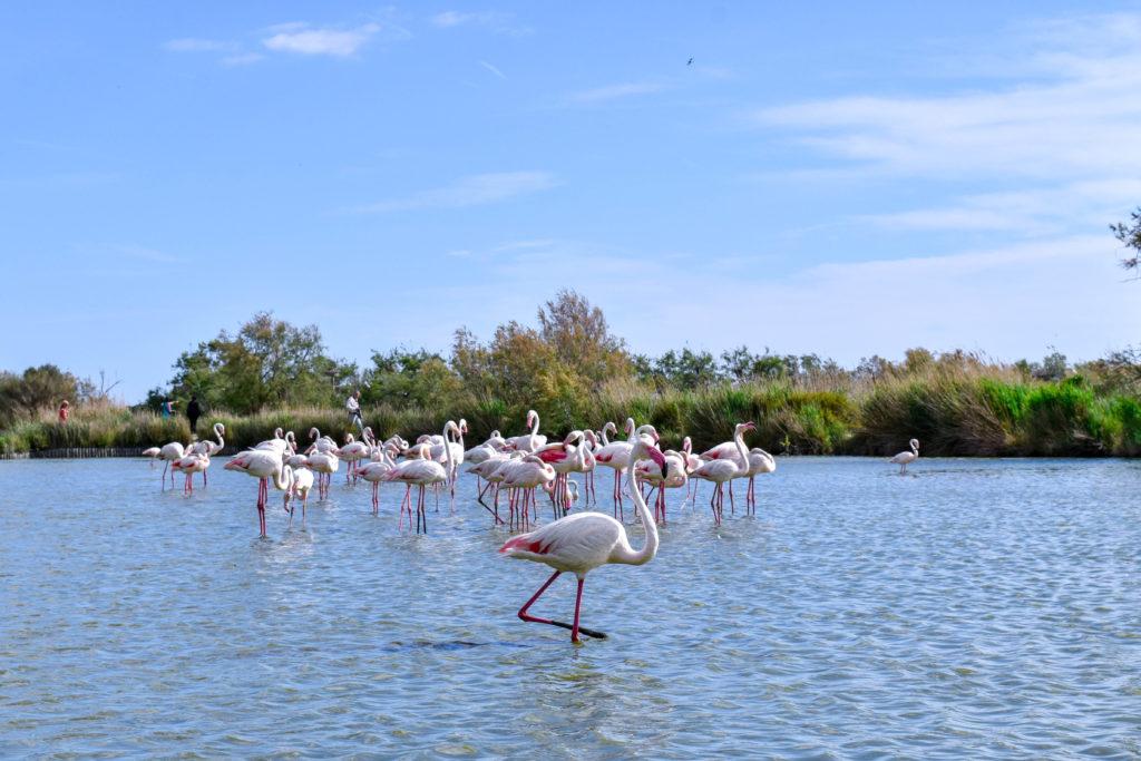 flamands roses en liberté dans un étang