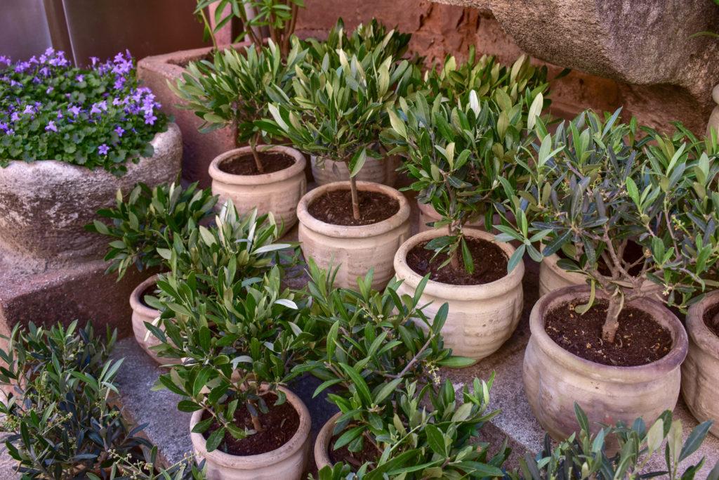 Des petits oliviers en pot